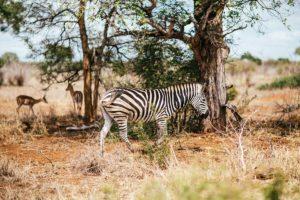 Reisen nach Botswana Afrika Zebra